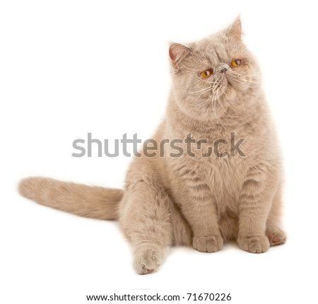 Exotic short-haired cat. Color violet. - stock photo