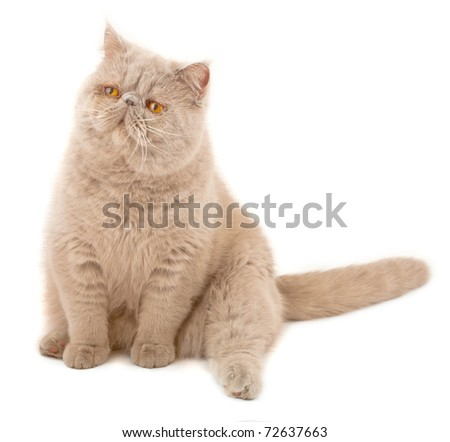 Exotic short-haired cat. Color violet. Isolated on white - stock photo
