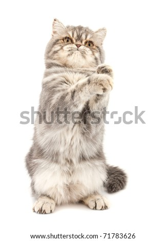 Exotic short-haired kitten. Color blue tabby spotty. - stock photo