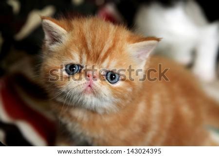 Exotic Shorthair Cat Orange