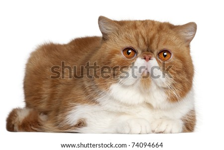 Exotic Shorthair cat, 2 and a half years old, lying in front of white background - stock photo