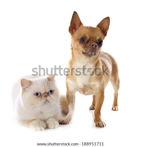 exotic shorthair cat and chihuahua in front of white background