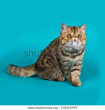Exotic shorthair cat color brawn tabby - stock photo