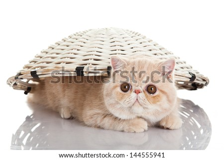Exotic shorthair cat. Funny playful cat - stock photo