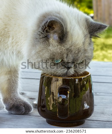 Exotic shorthair cat investigates a cup standing on the table. - stock photo