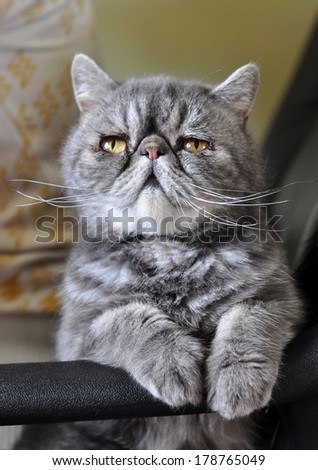 Exotic Shorthair cat sitting on a chair - stock photo