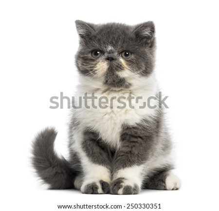Exotic Shorthair kitten (3 months old) - stock photo