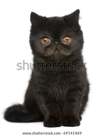 Exotic Shorthair kitten, 3 months old, sitting in front of white background - stock photo