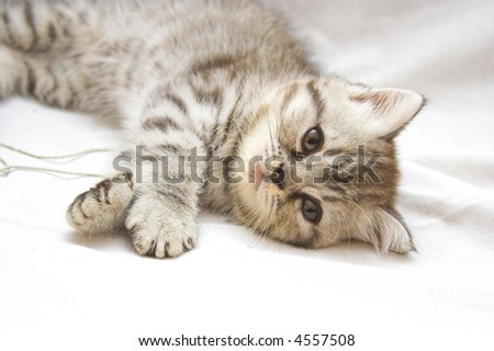 Exotic Shorthair kitty