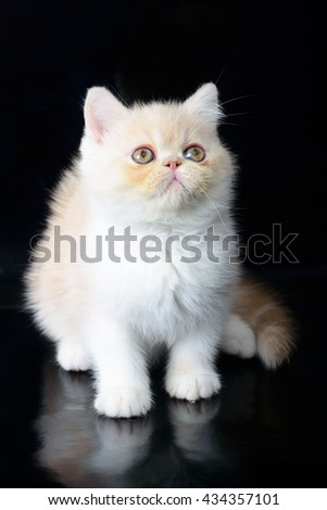 Exotic Shorthair white kittens on black background.