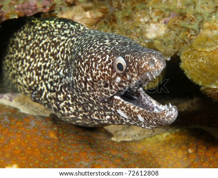 exotic spotted moray mouth open showing teeth on reef, roatan, honduras, underwater ocean sea snake eel coral  - stock photo