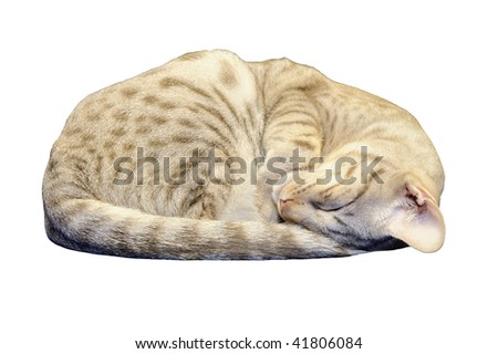 Exotic spotted Ocicat kitten sleeping, with clipping path. Isolated. - stock photo