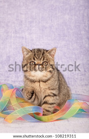 Exotic tabby kitten with tie dye ribbons on lilac purple background - stock photo