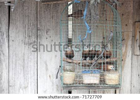 Exotic tropical brown birds in a birdcage in a bird market against an old weathered timber wall in Jogjakarta Indonesia. - stock photo