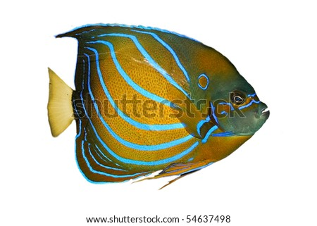 Exotic tropical fish isolated on white - stock photo