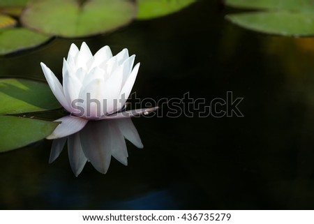 Exotic water lilies in a pond. Blooming white nymphaea waterlily, reflection on dark water background, Lotus plant with green leaves.  - stock photo