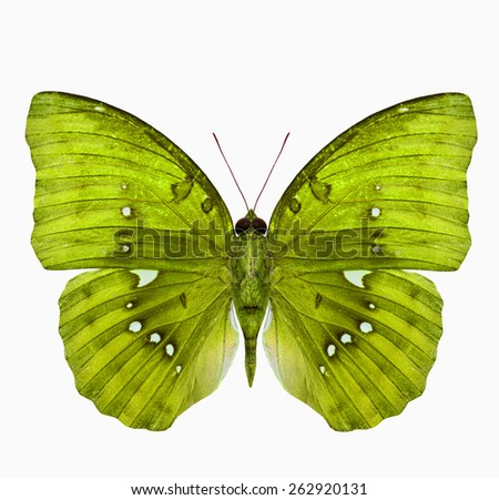Exotic Yellow butterfly (Great Marquis) isolated on white background - stock photo