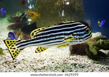 exotic zebra fish - stock photo