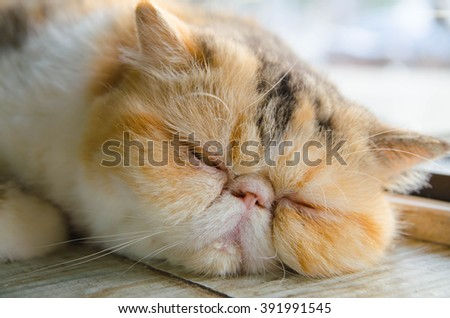exotlc shorthairs cat sleeping