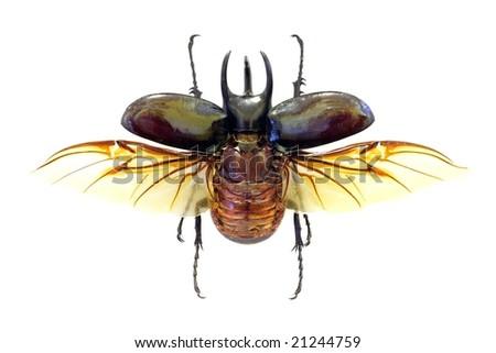 Exotoc beetle Chalcosoma atlas in fly (isolated) - stock photo