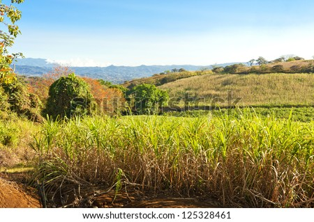 Expansive field of sugar cane ready for harvest in Costa Rica. - stock photo