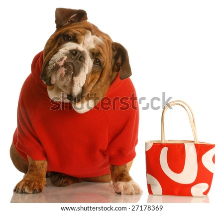 expensive dog - english bulldog in red sweater with matching purse - stock photo
