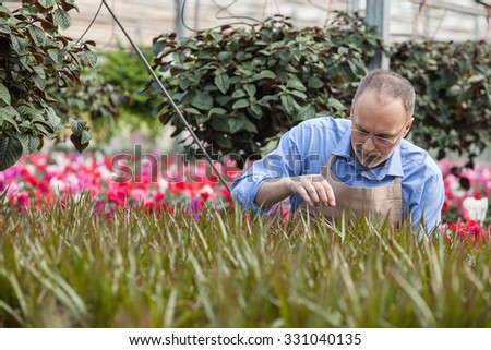 Experienced senior florist is working at greenhouse. He is standing and looking at plant with concentration - stock photo