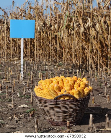 Experimental corn field ready for harvest  with mark for corn type and corn in basket - stock photo