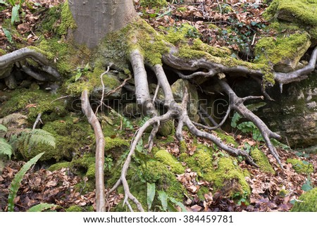 Exposed roots of a beech tree (Fagus sylvatica). A large deciduous tree showing roots, growing on a slope in a British woodland