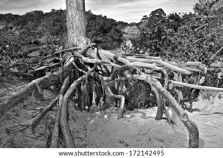 Exposed tree roots form a very organic composition that draws the eye strongly to the center. - stock photo
