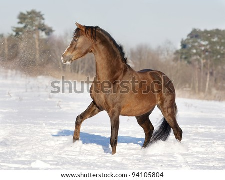 expressive brown welsh pony stallion sector B - stock photo