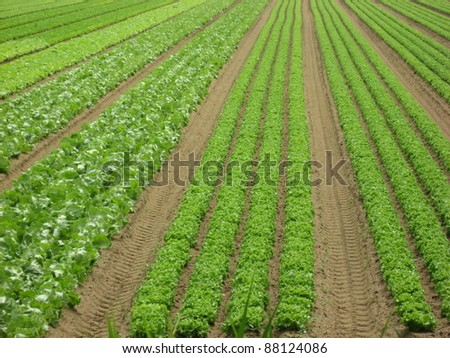 extensive cultivation of green salad on a field of sand in Italy