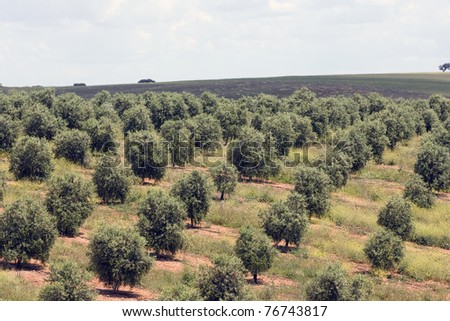 Extensive olive grove in the plains of Alentejo, Portugal