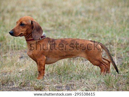 Exterior of standard smooth-haired brown dachshund