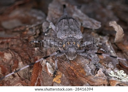 Extreme close-up of a female timberman (Acanthocinus aedilis) - stock photo
