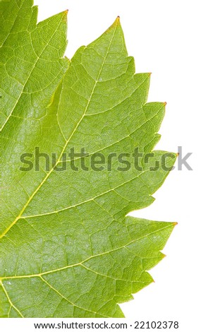 Extreme close-up of a grape leaf on white background - stock photo