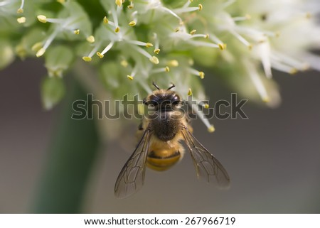Extreme Close-Up of Bee on Flower of Welsh Onion with Blur Background - stock photo