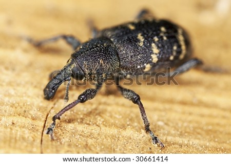 Extreme close-up of  Snout beetle. - stock photo