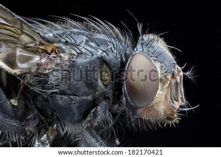 Extreme close up side profile of a Bluebottle ((Calliphora vomitoria)) fly head and thorax, isolated on black background - stock photo