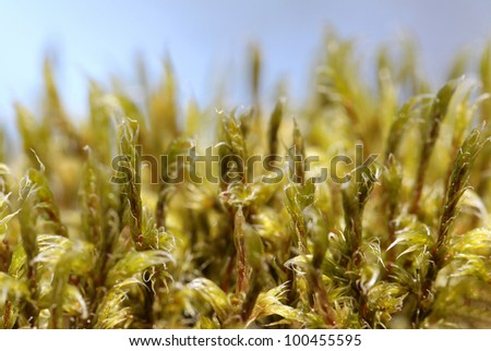 Extreme close up view of Racomitrium microcarpon moss with blue sky background. Space for text, suitable for backgrounds. - stock photo