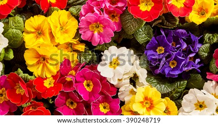 Extreme close up view on vivid pink, white, purple, yellow and red primrose flowers growing closely together as a beautiful nature background - stock photo