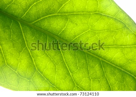 Extreme closeup of a green leaf, backlit. - stock photo