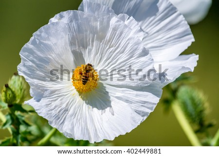 Extreme Closeup of a Honey Bee on a Bright and Beautiful White Prickly Poppy (Argemone albiflora) Wildflowers Blossoms with their Paper-like Petals Growing Wild in a Texas Field or Meadow. - stock photo