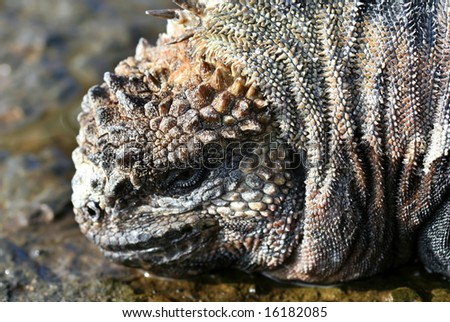 Extreme closeup of a marine iguana on the Galapagos Islands