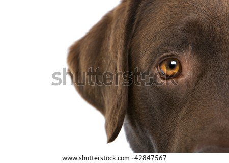 Extreme closeup of a partial view of the eye and ear area of a brown Labrador Retriever, isolated on a white background. - stock photo