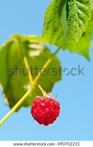 Extreme closeup of a single, small, red, ripe raspberry, hanging from a vine against a bright blue sky.