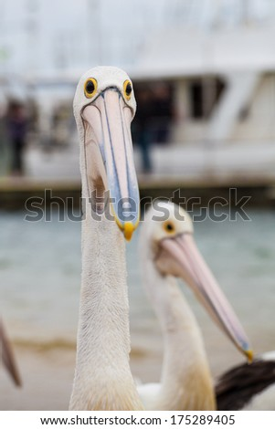 Extreme closeup of Australian Pelican making a funny face - stock photo