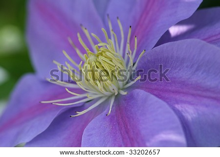 Extreme closeup of mauve clematis flower - stock photo