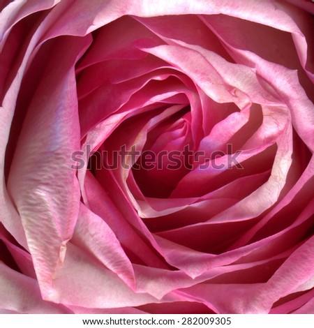 Extreme closeup of pink rose - stock photo