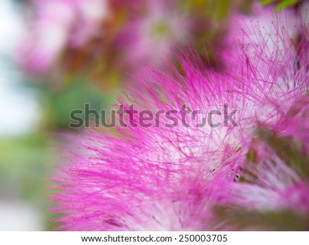 Extreme closeup pink powderpuff blooming like dream with shallow DoF(depth of field), Calliandra surinamensis, Family Mimosaceae, common names Pompon De Marin, Surinam Powderpuff, Surinamese Stickpea) - stock photo
